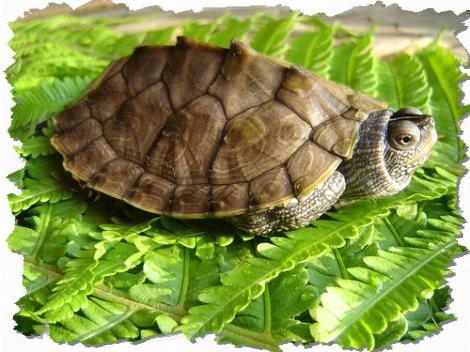 teknős pénisz